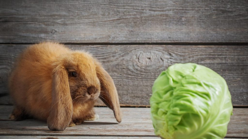 is cabbage good for rabbits
