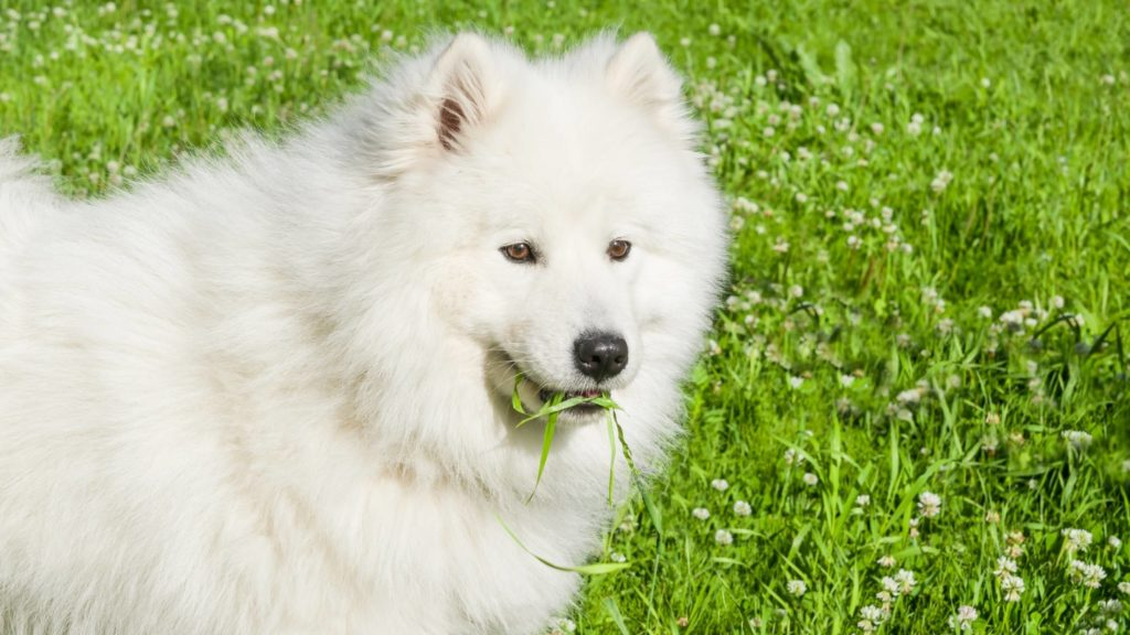 Do dogs eat grass to settle their stomach
