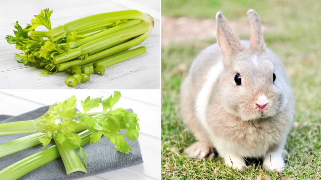 How much celery can a rabbit eat_