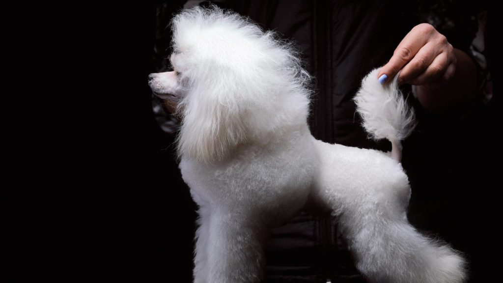 Should I dock my poodle's tail_