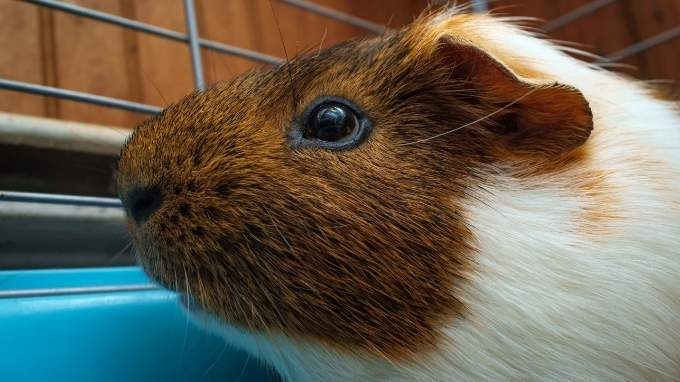 best guinea pig cage liners
