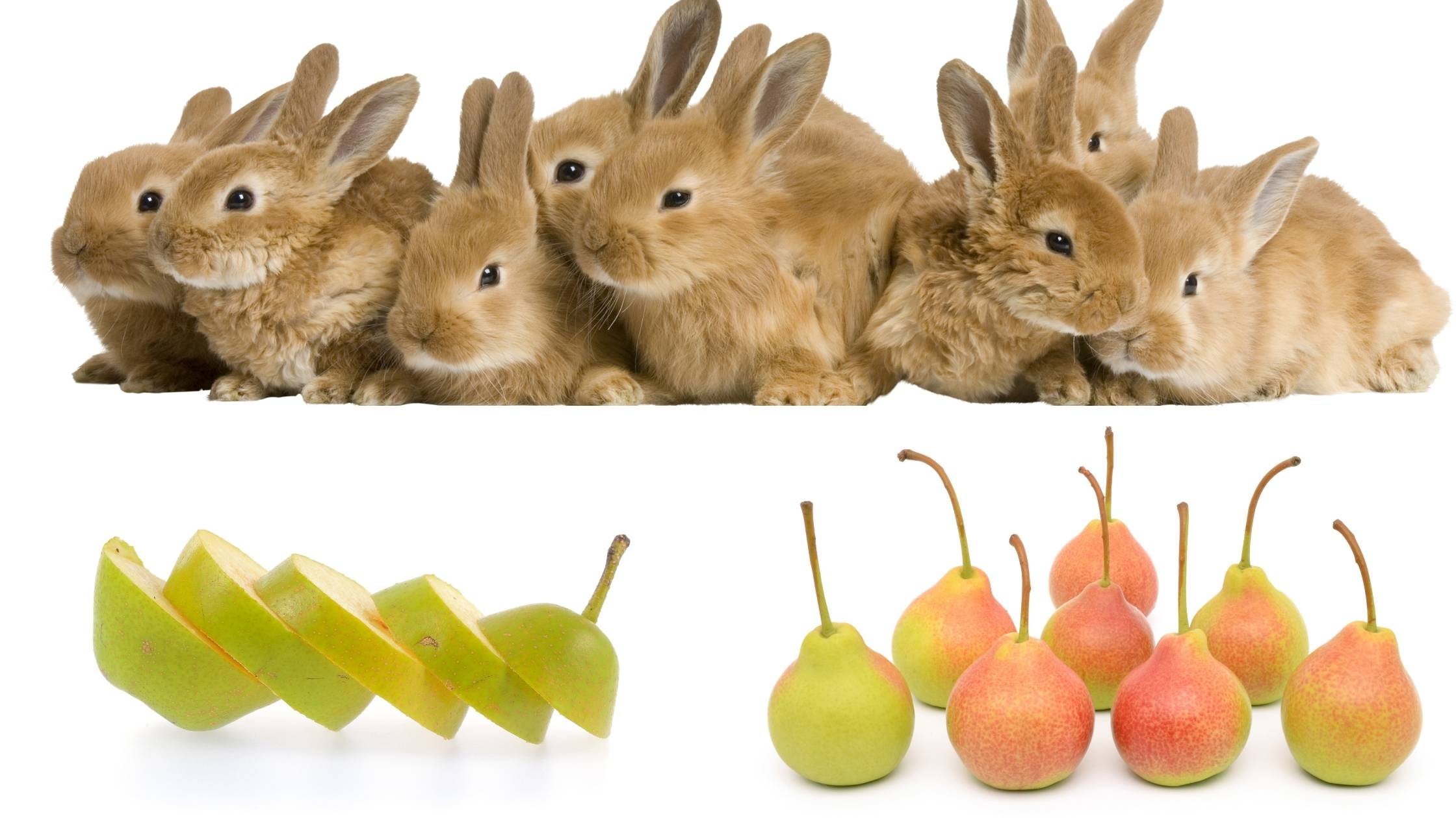 can rabbits eat pears (2)