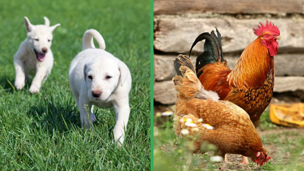 Are Akbash Dogs Good with Chickens