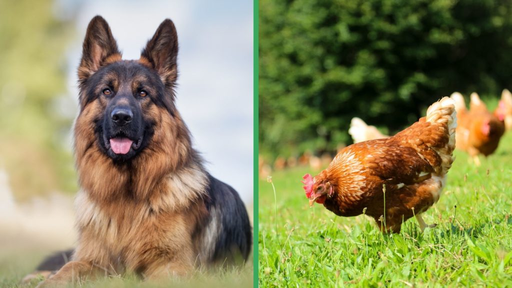 Are German Shepherd Dogs Good with Chickens