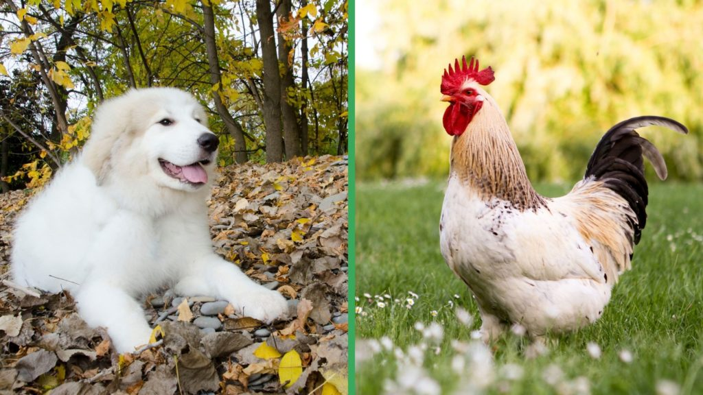 Are Great Pyrenees Dogs Good with Chickens