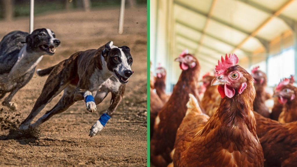 Are Greyhound Dogs Good with Chickens