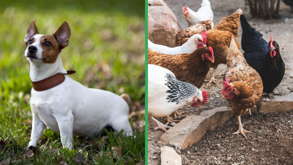 Are Jack Russell Terrier Dogs Good with Chickens