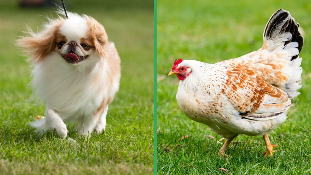 Are Japanese Chin Dogs Good with Chickens