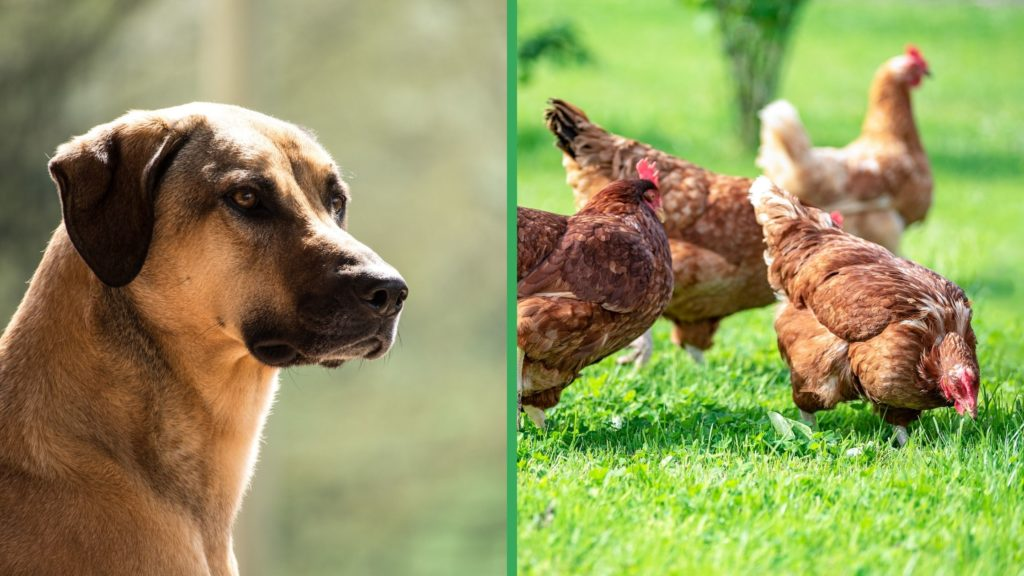 Are Kangal Dogs Good with Chickens