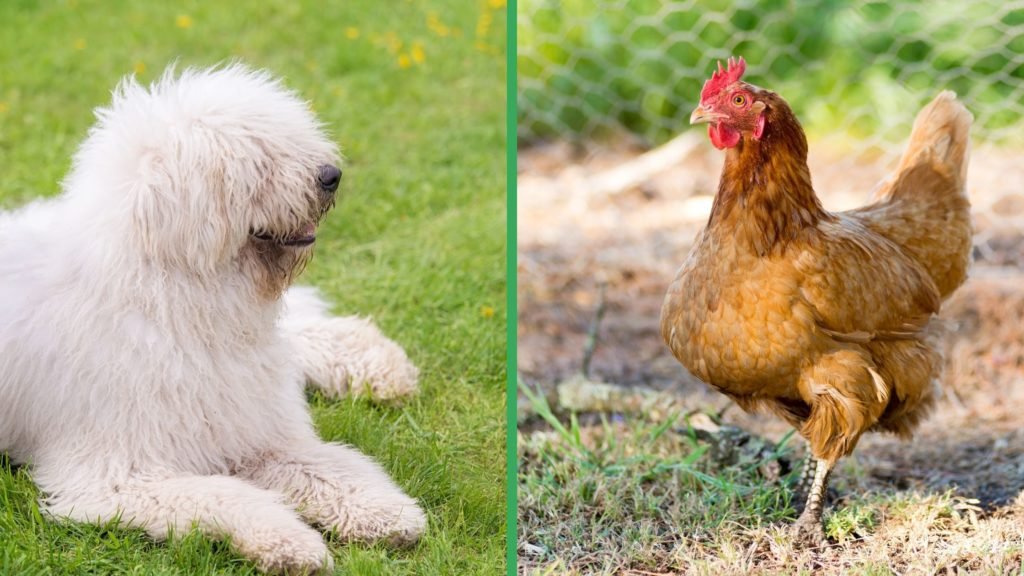Are Komondor Dogs Good with Chickens