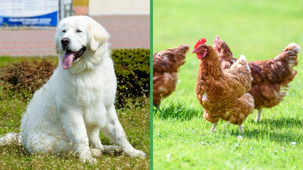 Are Kuvasz Dogs Good with Chickens