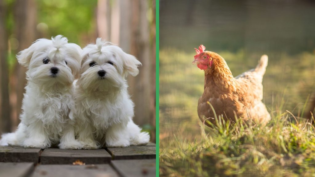 Are Maltese Dogs Good with Chickens