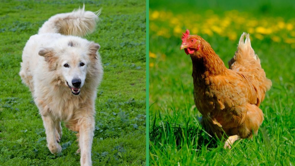 Are Maremma Sheepdog Dogs Good with Chickens