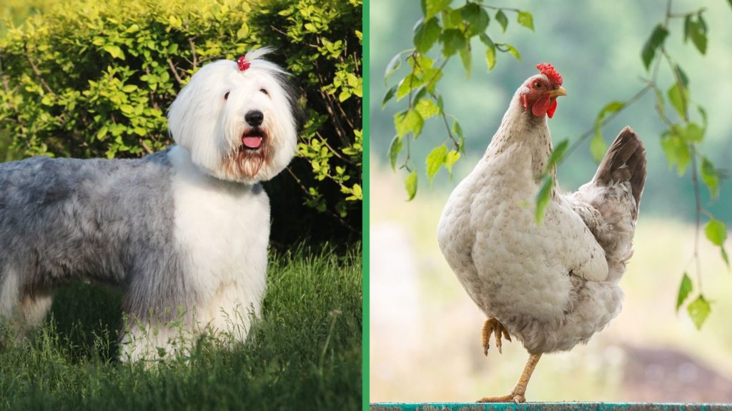Are Old English Sheepdog Dogs Good with Chickens