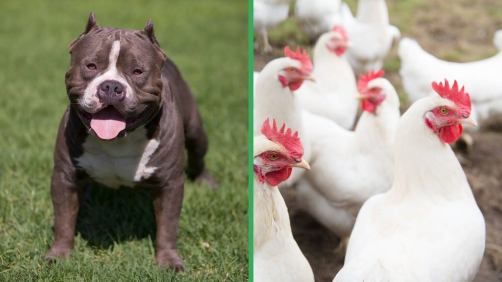 Are Pitbull Dogs Good with Chickens