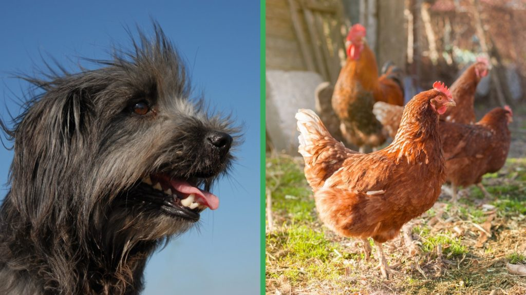 Are Pyrenean Mastiff Dogs Good with Chickens