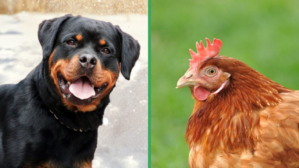 Are Rottweiler Dogs Good with Chickens