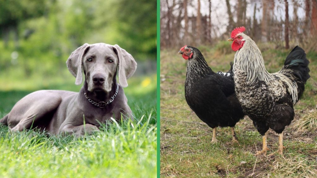 Are Weimaraner Dogs Good with Chickens