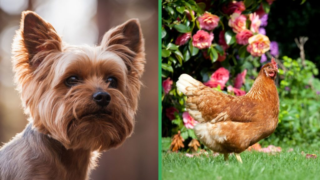 Are Yorkshire Terrier Dogs Good with Chickens