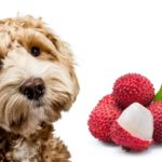 can dogs eat lychee fruit