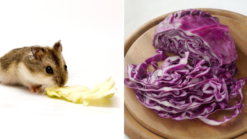Can Hamsters Eat Raw Red Cabbage