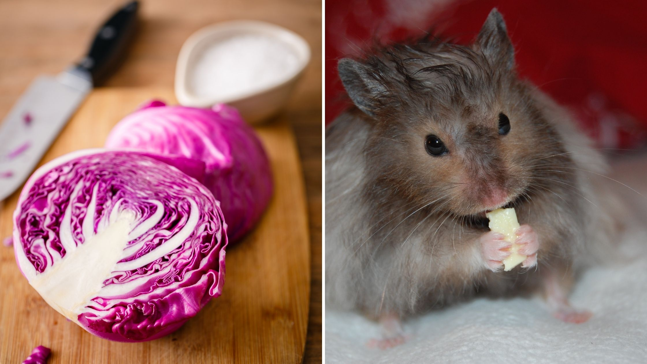 Can Hamsters Eat Purple Cabbage
