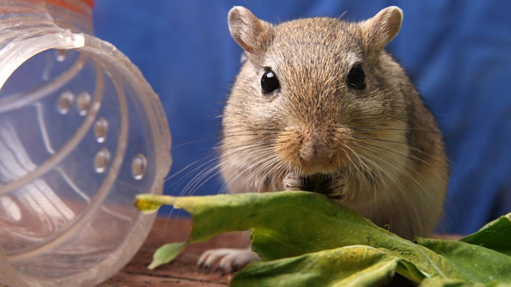 Is Apple Bad for Gerbils