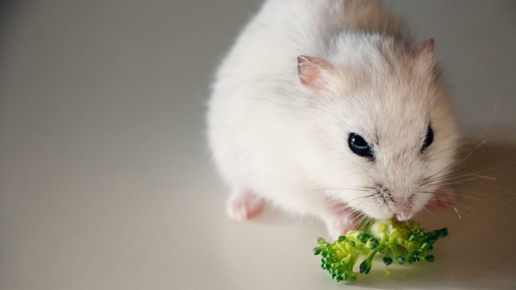 What Can I Feed My Hamster Instead of Red Cabbage