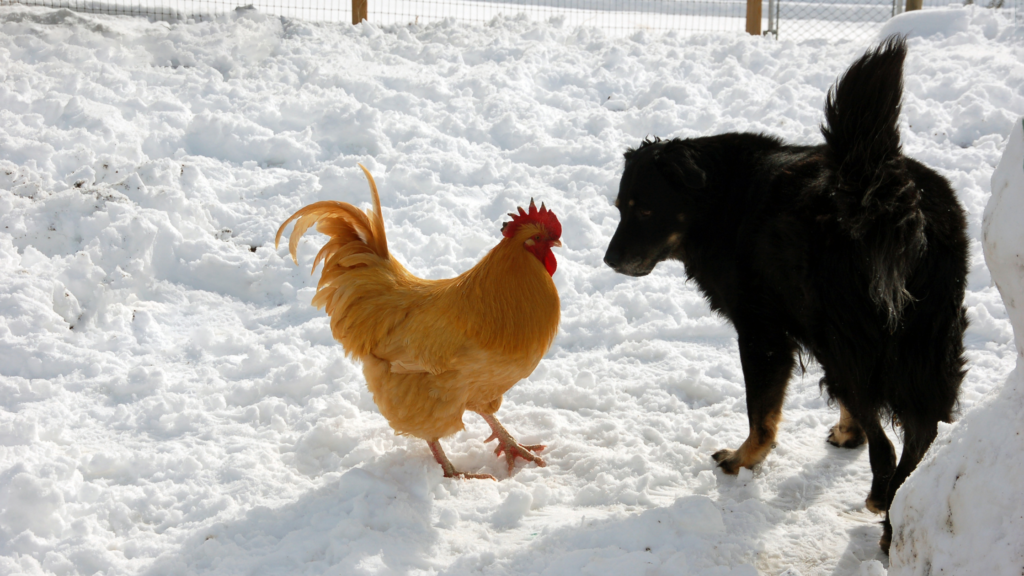 best dog breed to protect chickens