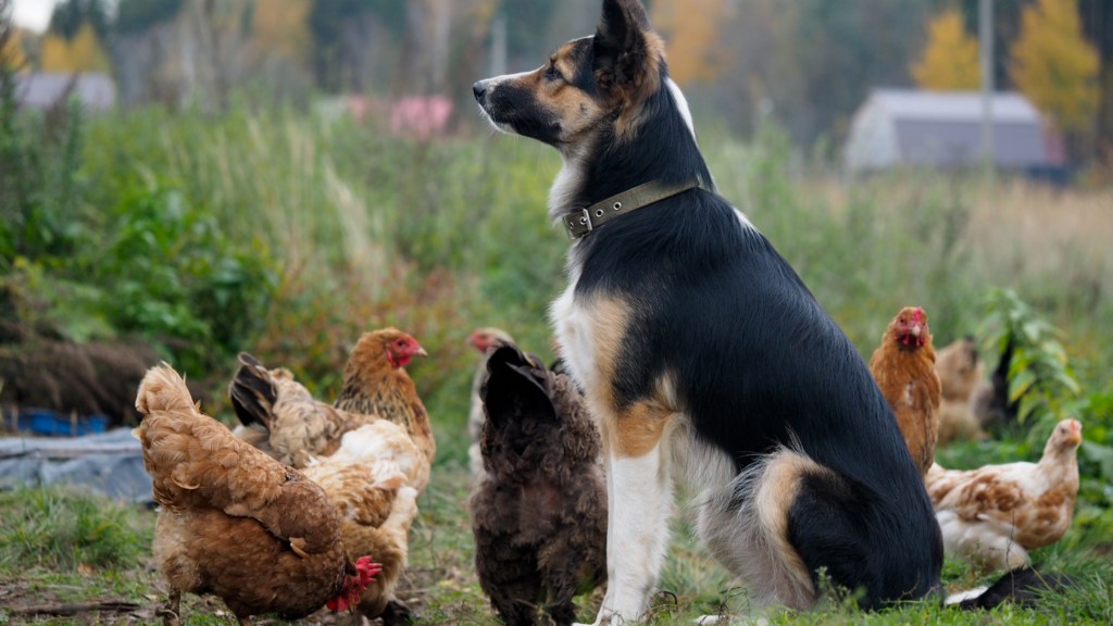 best dog breeds for protecting chickens