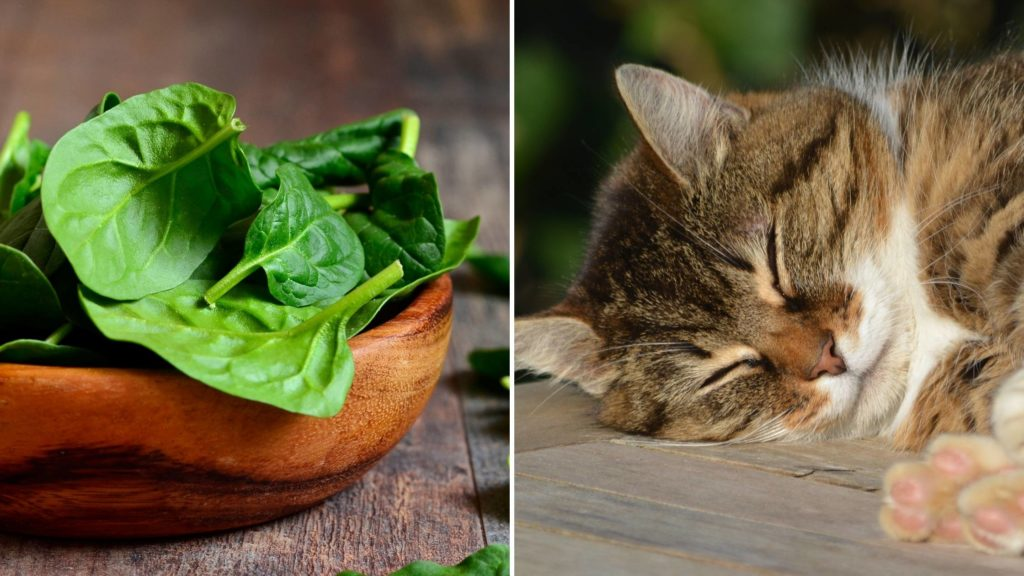 is spinach toxic to cats