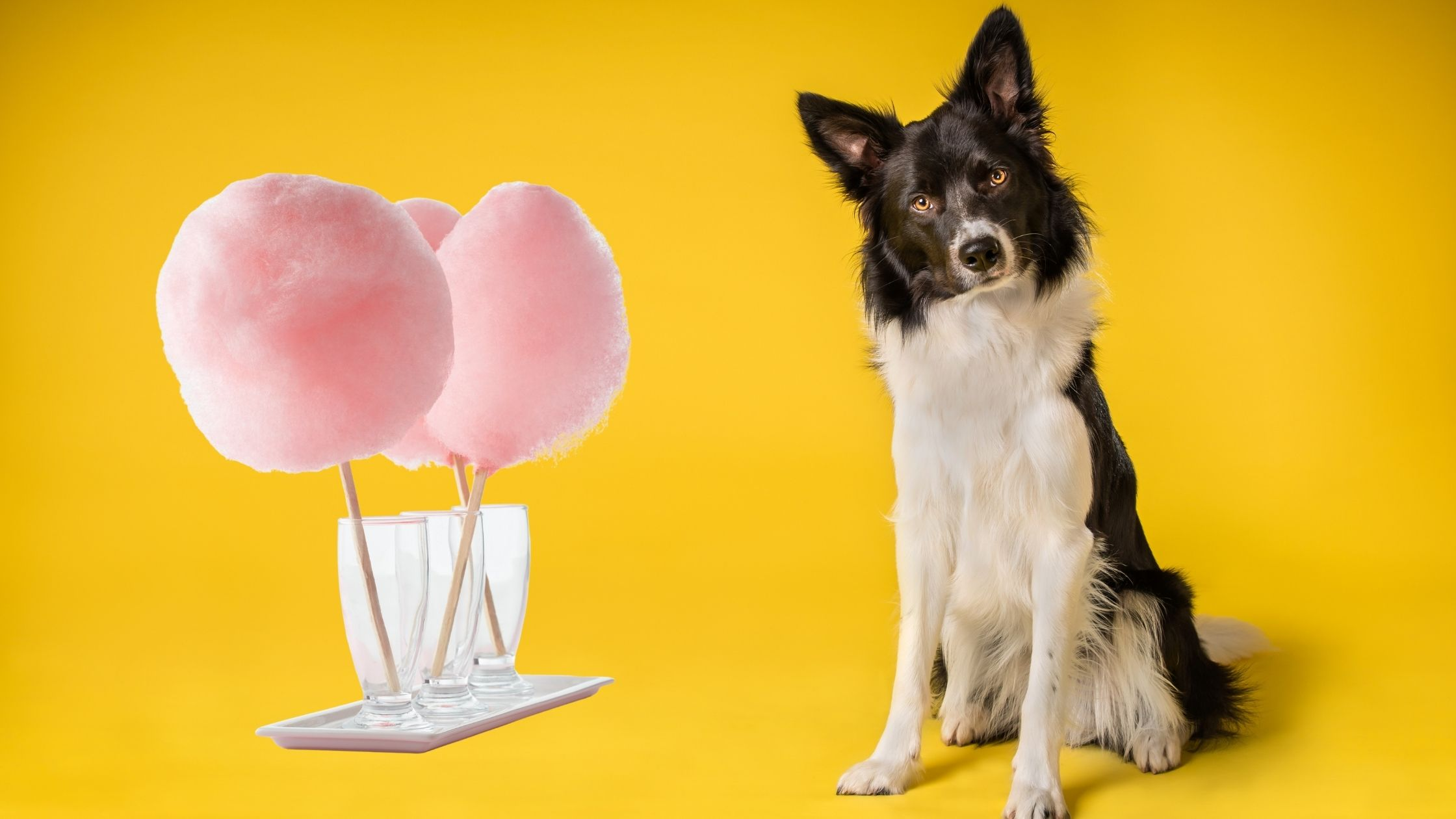 What Should I Do If My Dog Eats Cotton Candy